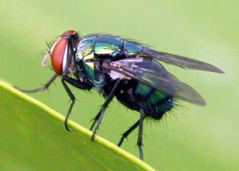Blowfly blowfly pupae